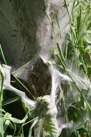 Gespinnsmottenlarven