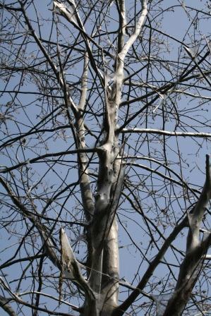Von der Gespinnstmotte befallener Baum